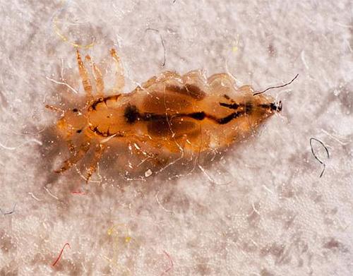 Бельевые вши: описание паразитов, методы избавления