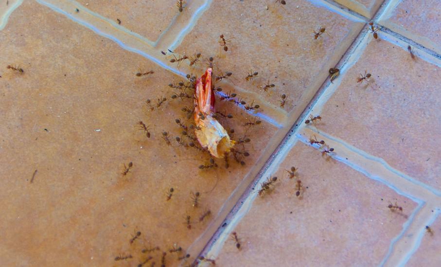 Средство против муравьев в квартире рыжих