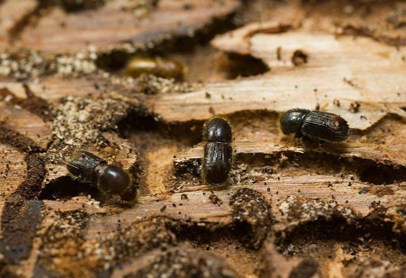 Как избавиться от короеда или жука точильщика в доме, чем обработать пространство