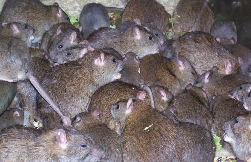 Хорошая отрава от крыс