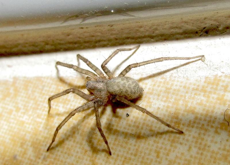 Серый паук