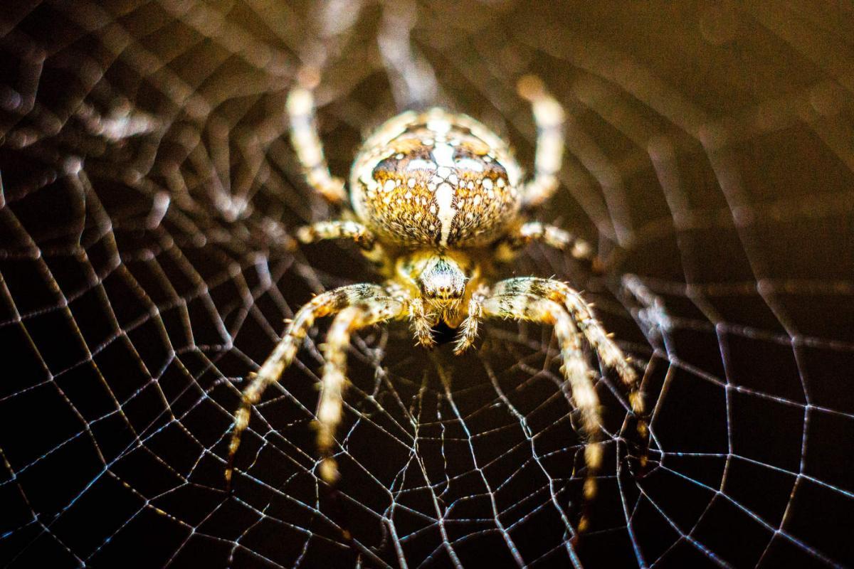 Овинный паук