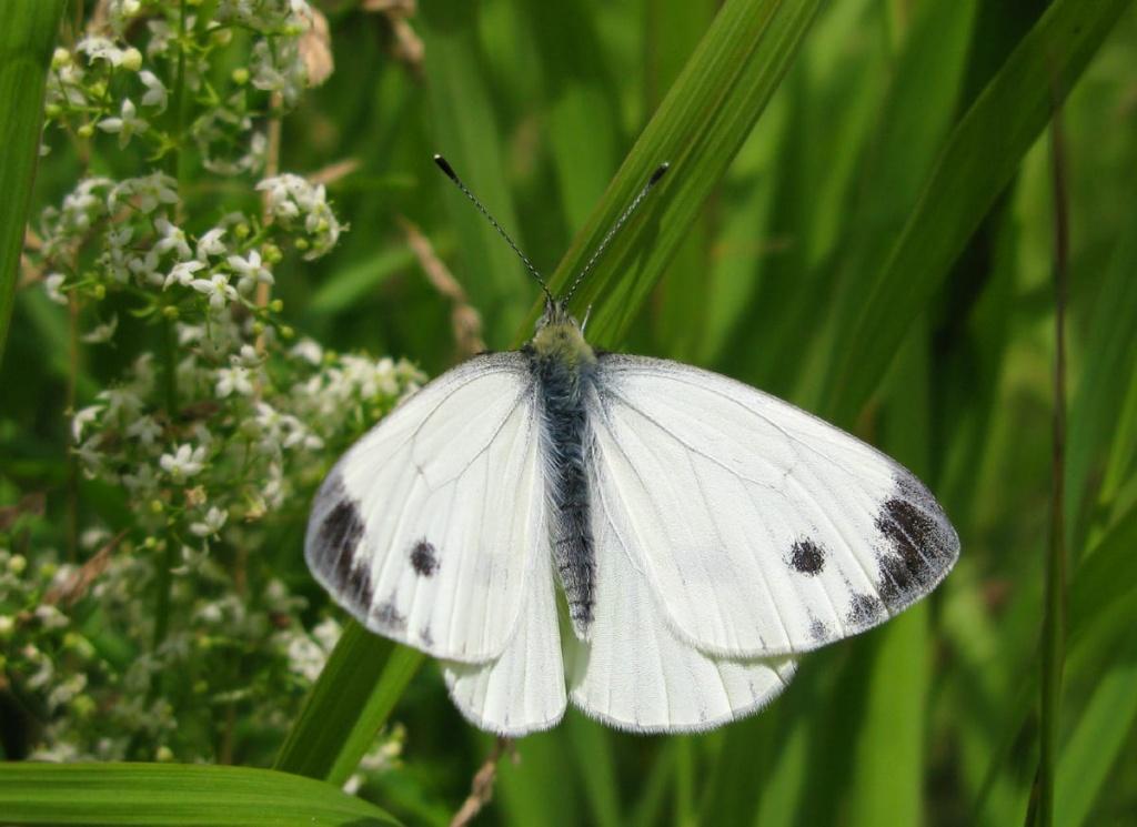 Капустница бабочка