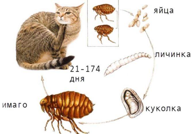 Этапы размножения