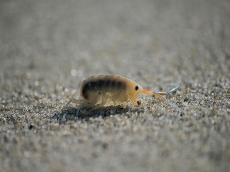 Песчаная блоха