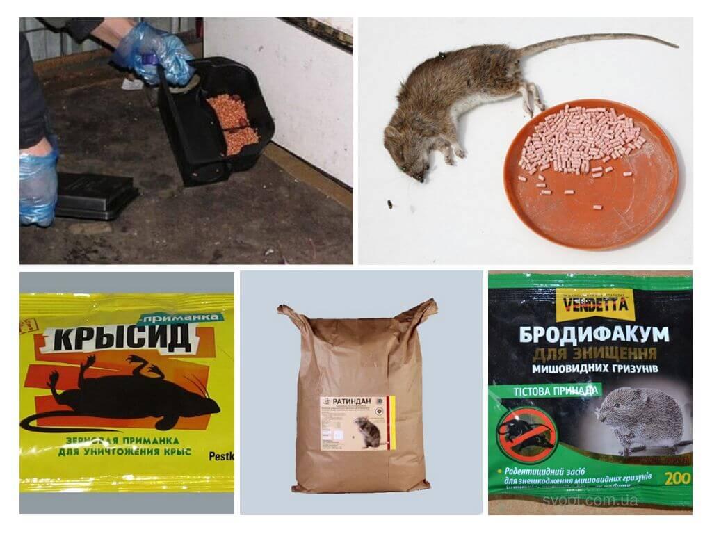 Крысы и яд