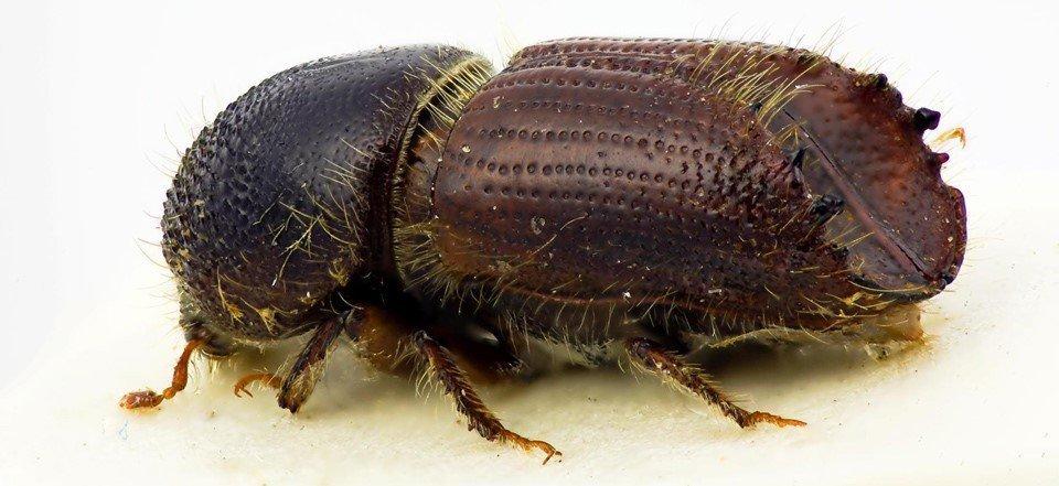 Короед жук