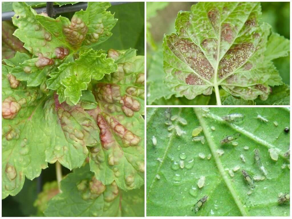 Какое насекомое спасает смородину от тли вредителя
