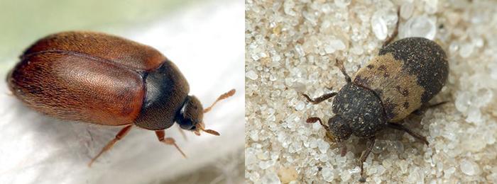 Чем опасен жук кожеед